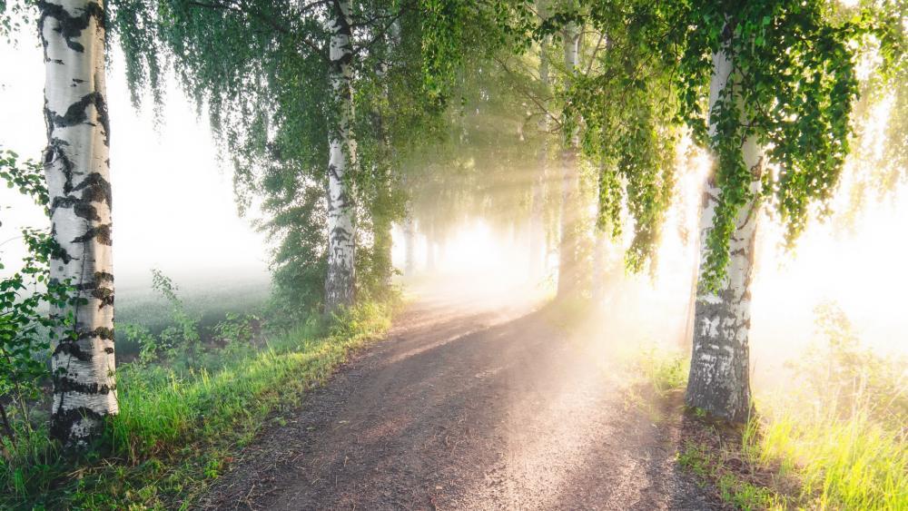 Morning sunlight among the birch trees wallpaper