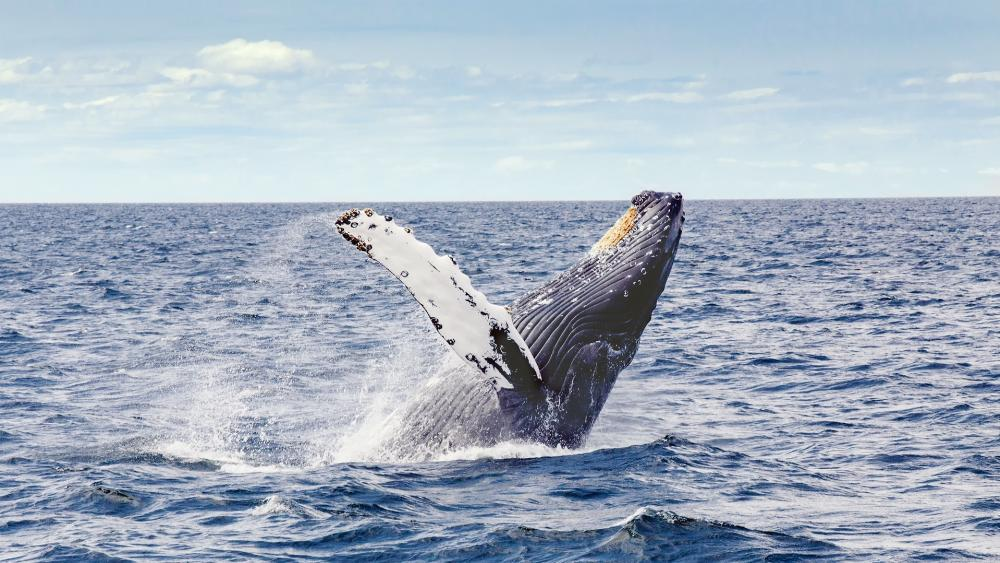 Humpback whale wallpaper
