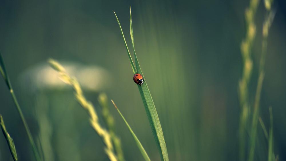 Ladybird 🐞 wallpaper