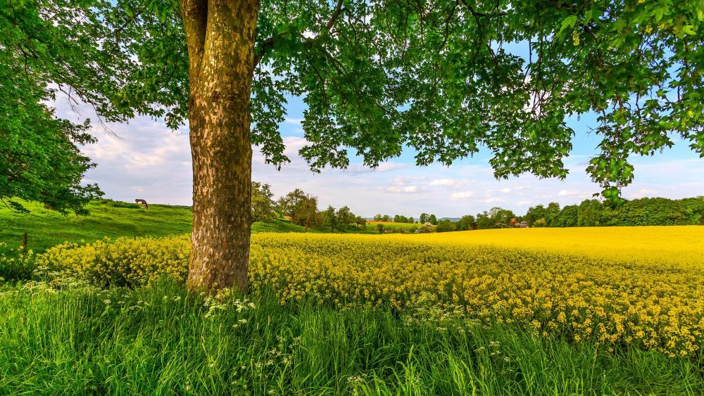 Flowering canola field wallpaper