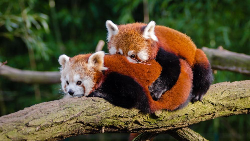 Red panda cuddle wallpaper