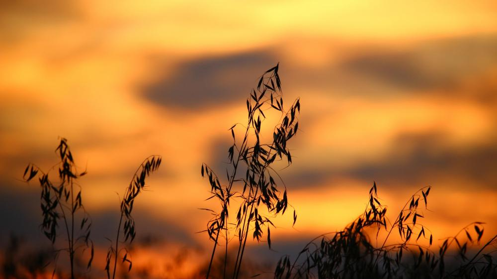 Grass silhouette in the sunset wallpaper