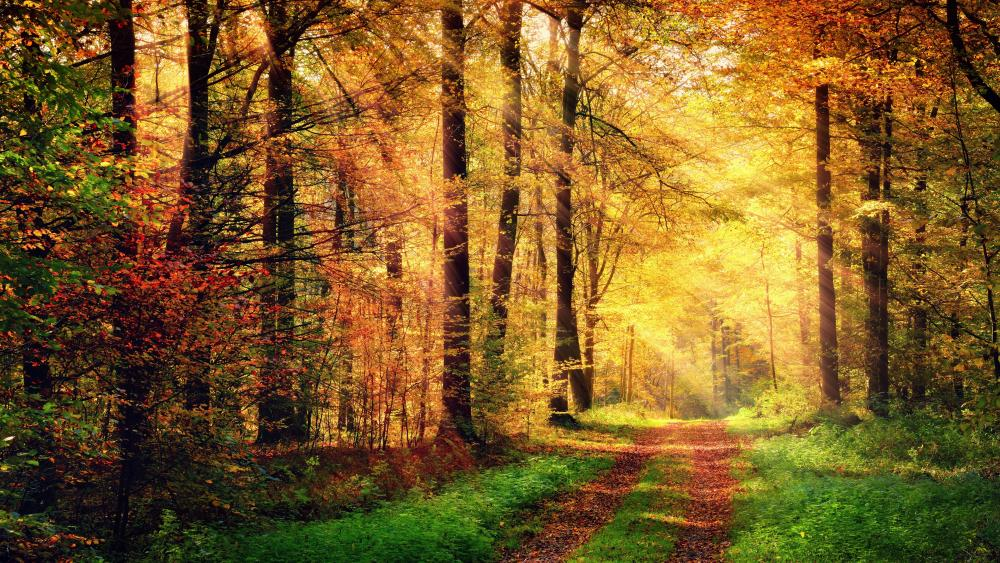 Fall forest path in the rays of sun wallpaper