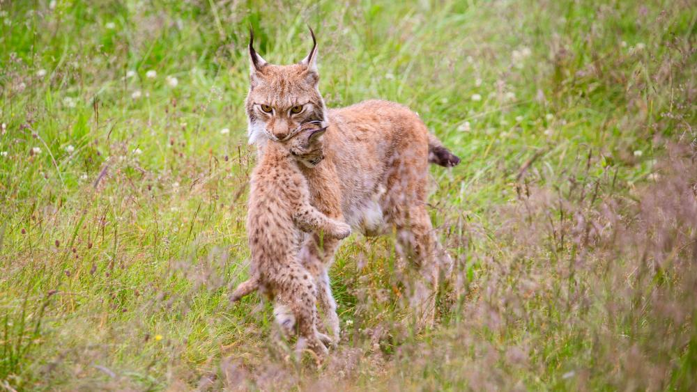 Bobcat mom and her baby wallpaper