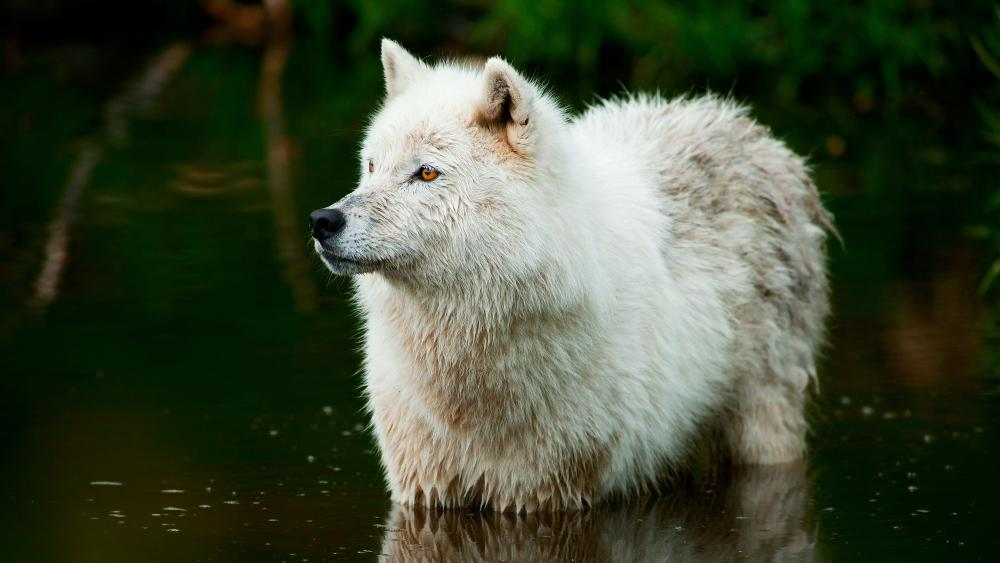 White wolf in the water wallpaper