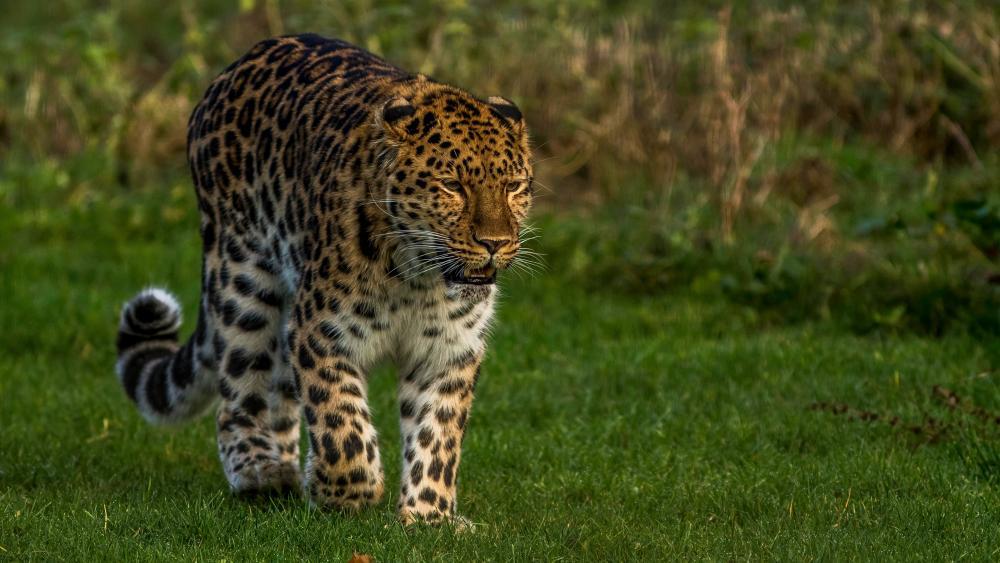 Leopard walking in the grass wallpaper