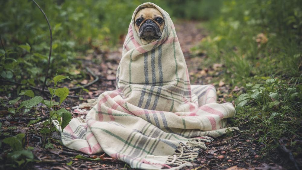 Pug dog wrapped in a blanket wallpaper