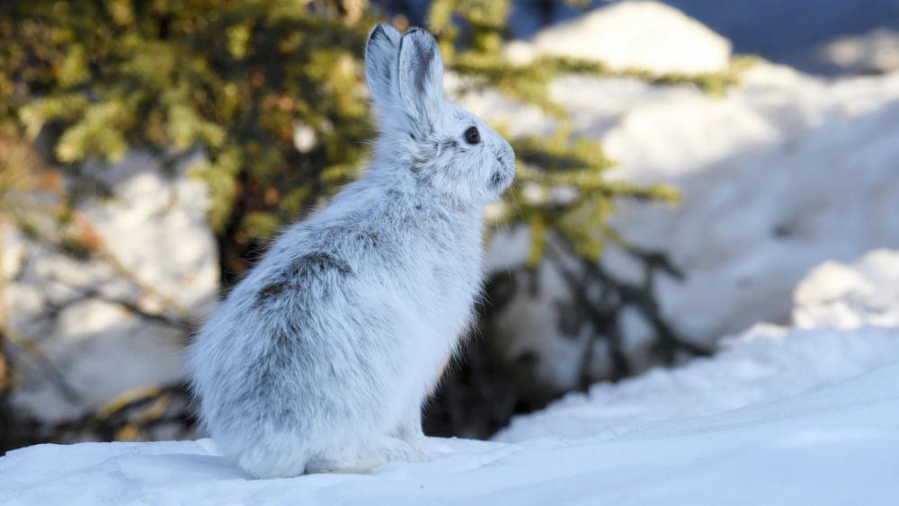 Rabbit in the snow wallpaper