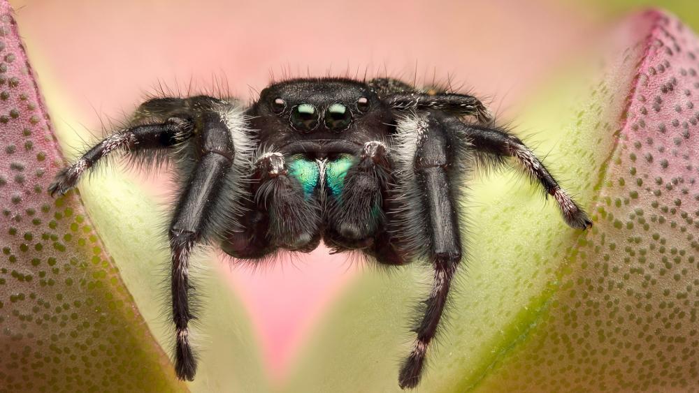 Spider macro photo wallpaper