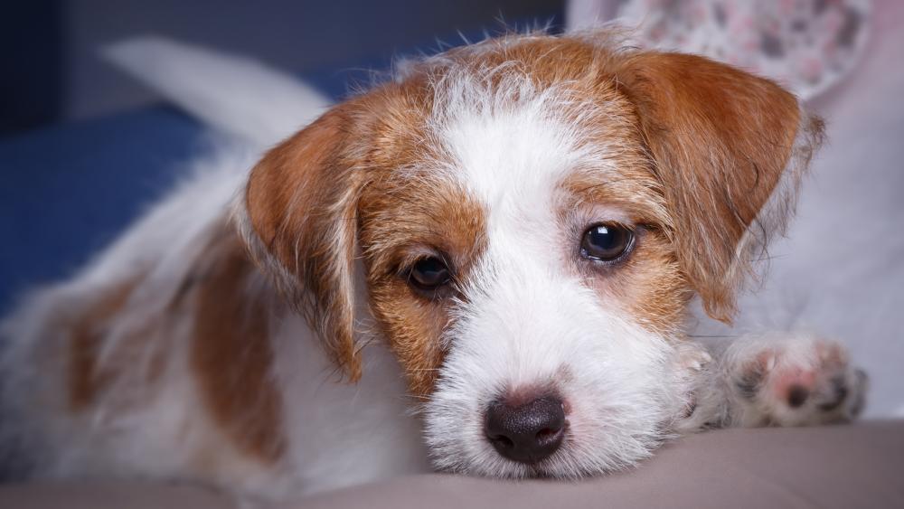 Kromfohrländer puppy wallpaper