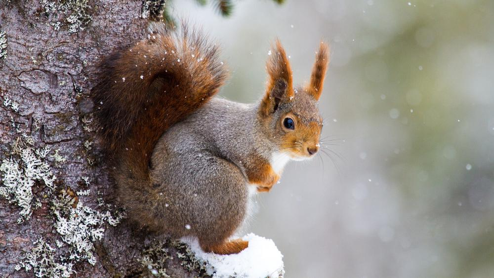 Cute squirrel in the snowfall wallpaper