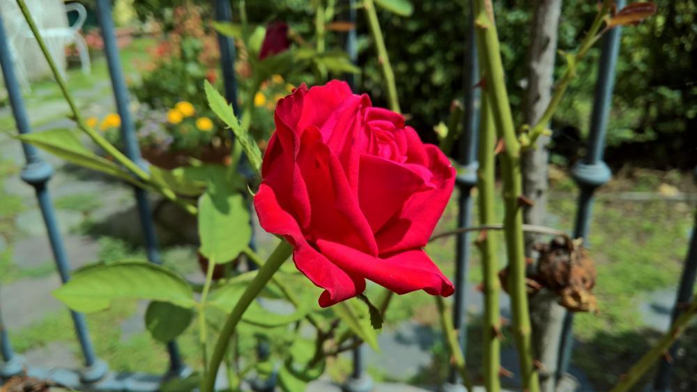 Red rose in the garden wallpaper