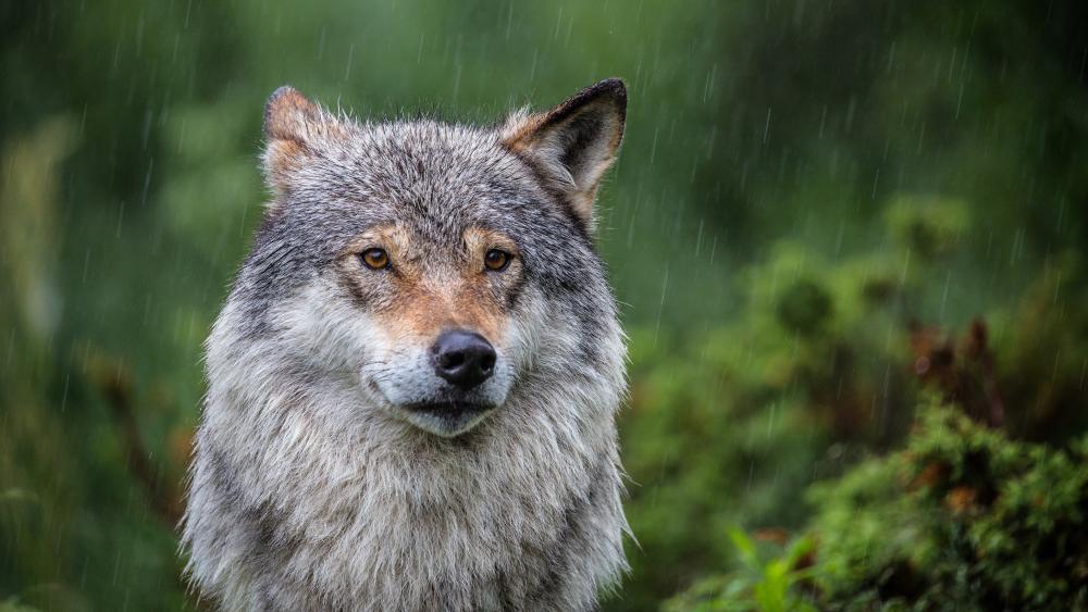 Wolf in the rain wallpaper