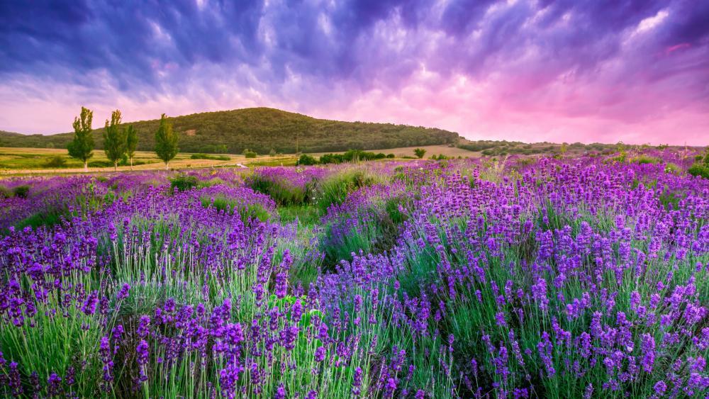 Lavender blossom wallpaper