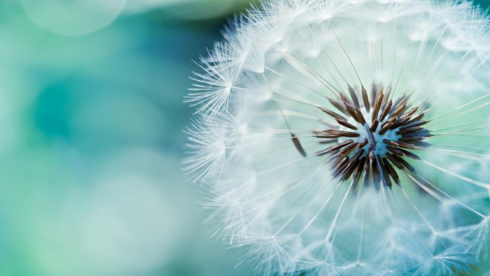 Dandelion seeds wallpaper
