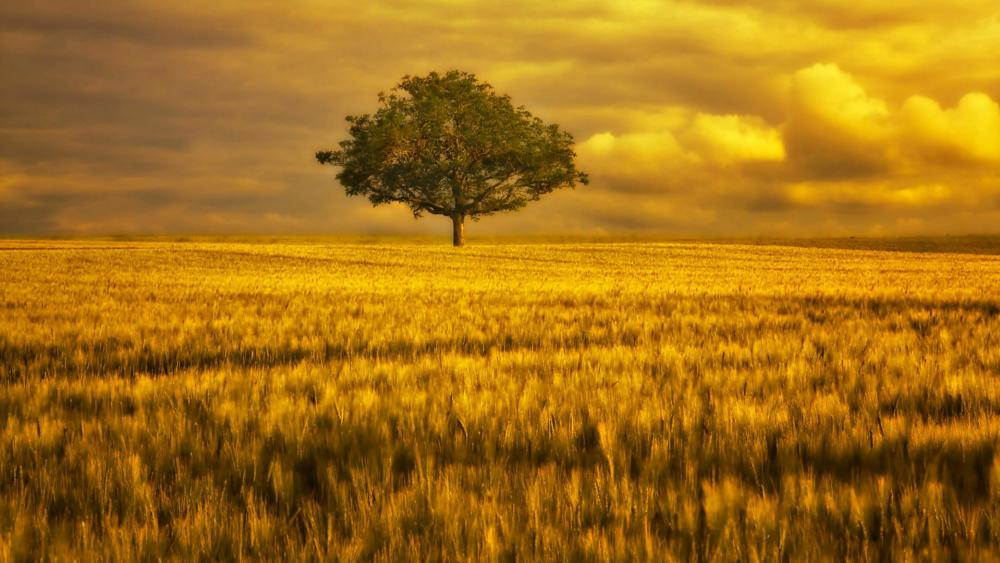 Lone tree in the golden hour wallpaper