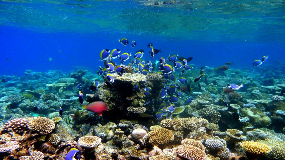 Coral reef with fishes wallpaper