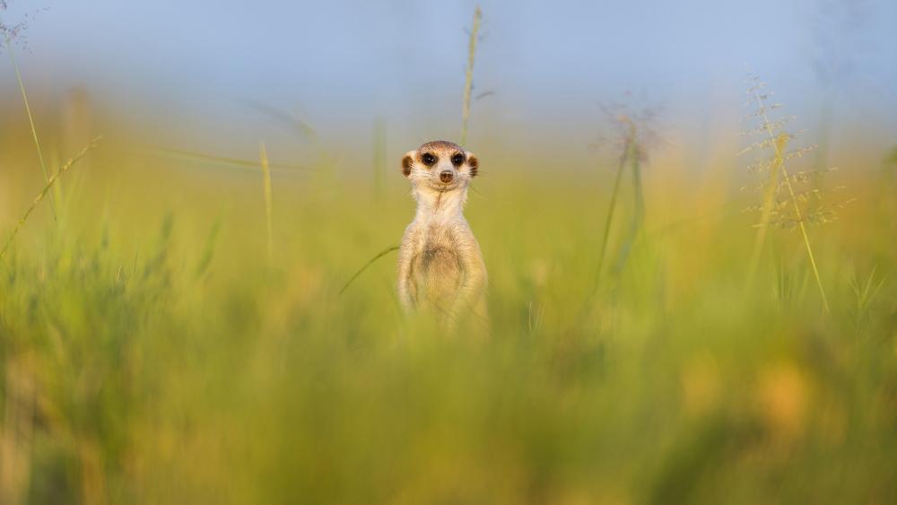 Meerkat in the grass wallpaper