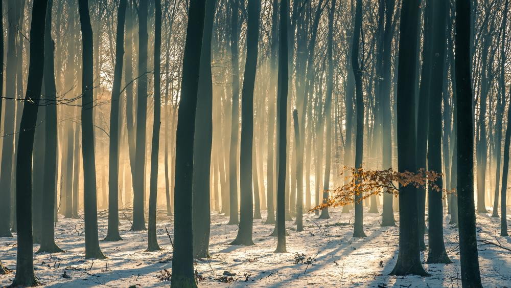 Beech forest in winter wallpaper