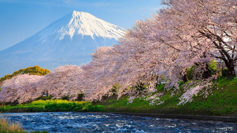 Cherry blossoms at Ryuganbuchi wallpaper