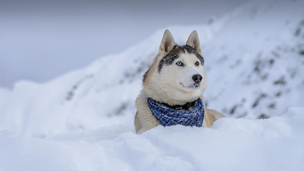 Siberian Husky in the snow wallpaper