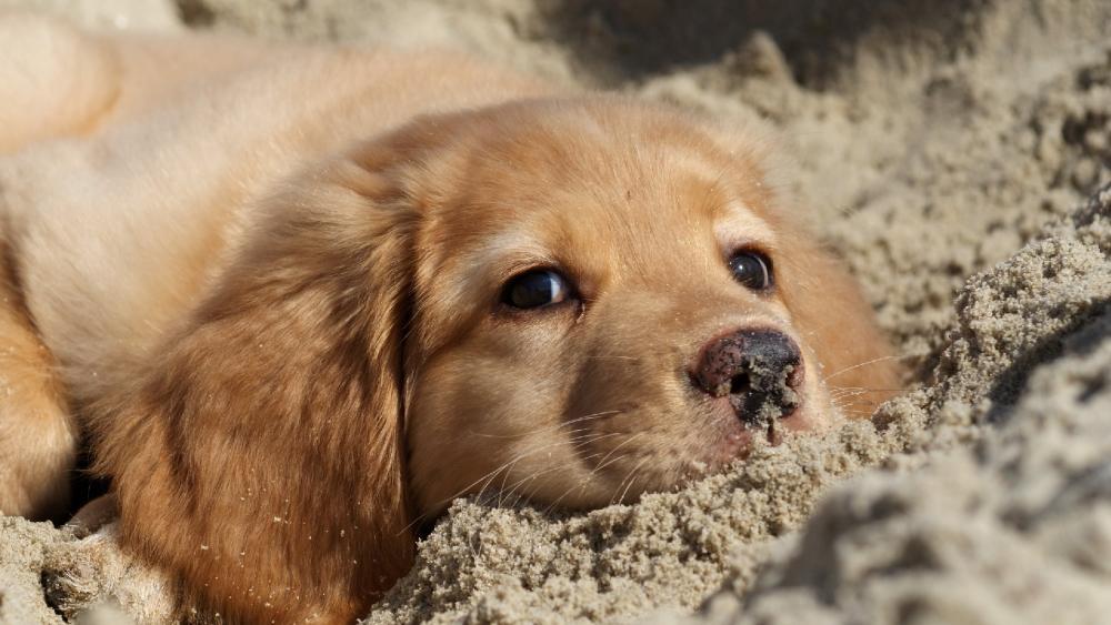 Golden Retriever puppy in the sand wallpaper