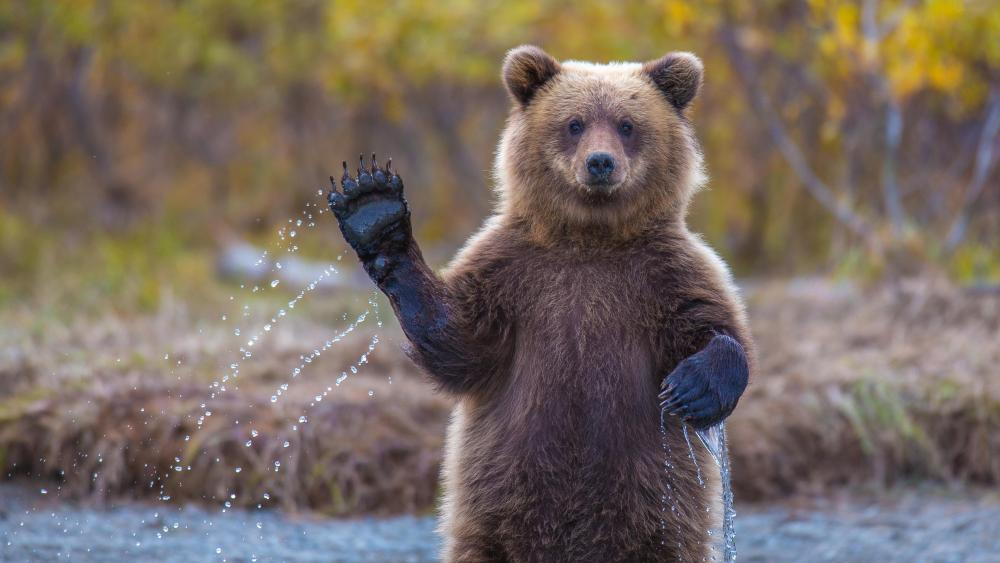 Waving bear wallpaper