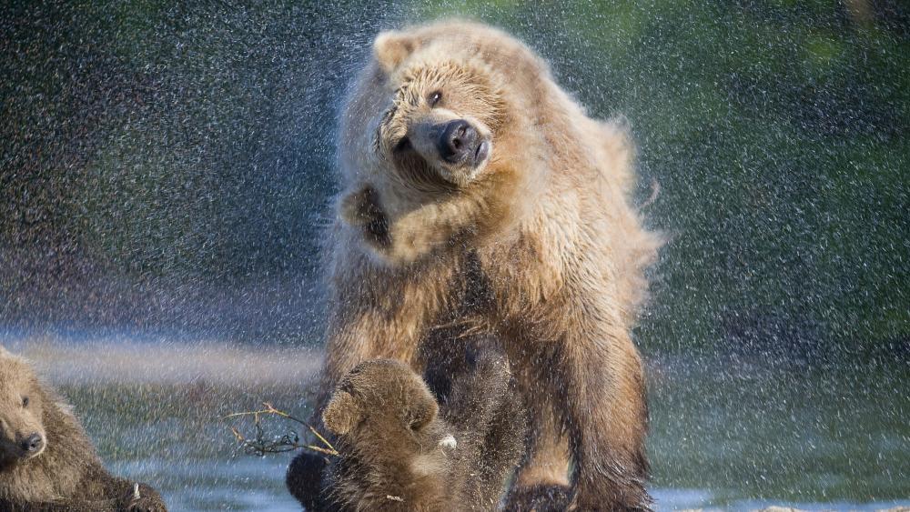 Wet bear wallpaper