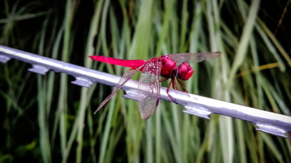 Red dragonfly wallpaper