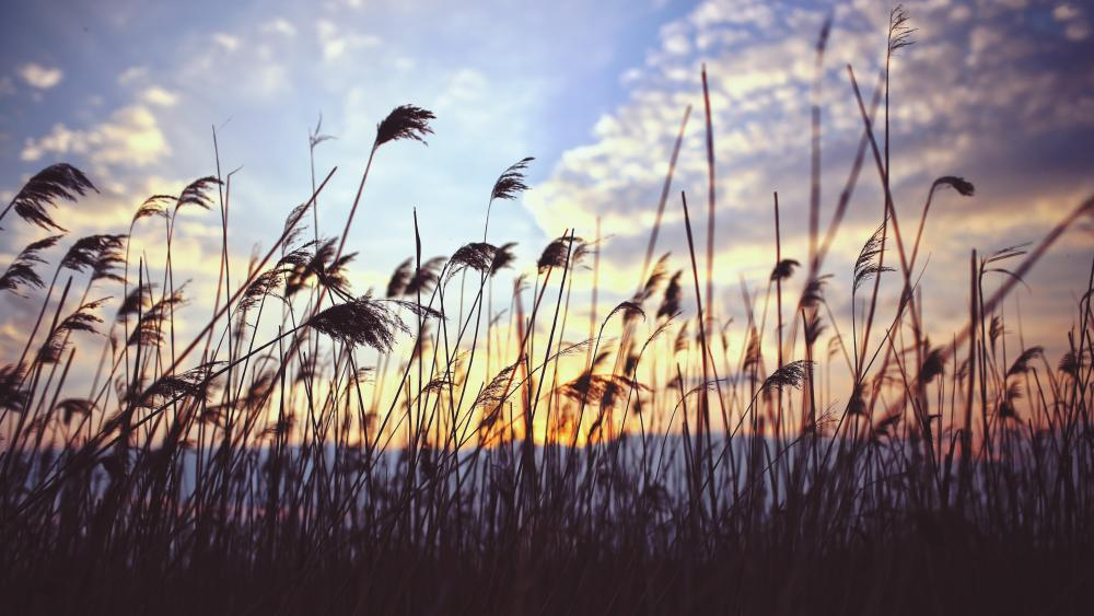 Sunset in the reeds wallpaper