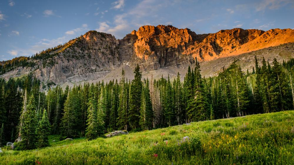 Field near the pine forest wallpaper