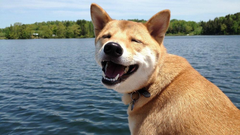 Shiba Inu dog wallpaper