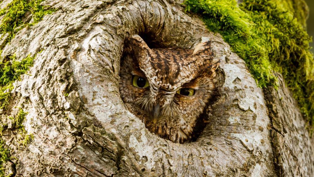Western Screech Owl wallpaper
