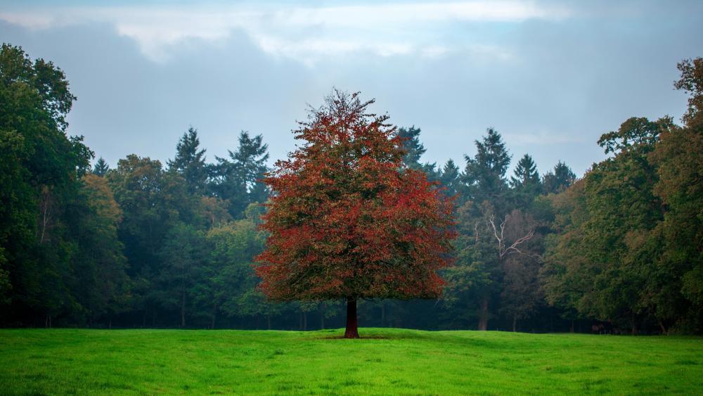 Lone autumn tree wallpaper