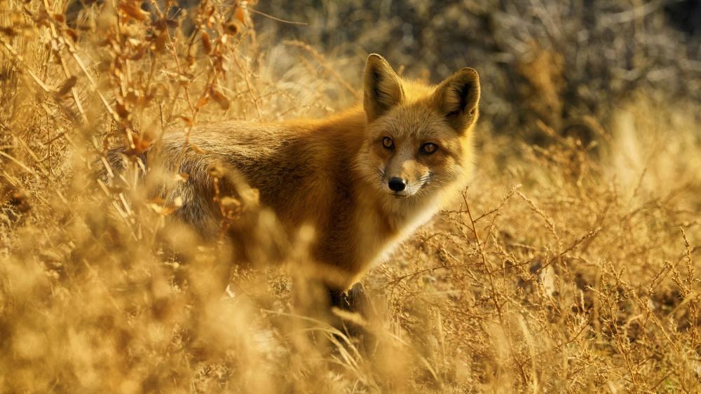 Red fox wallpaper