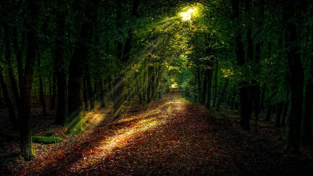 Sunrays in the forest path wallpaper