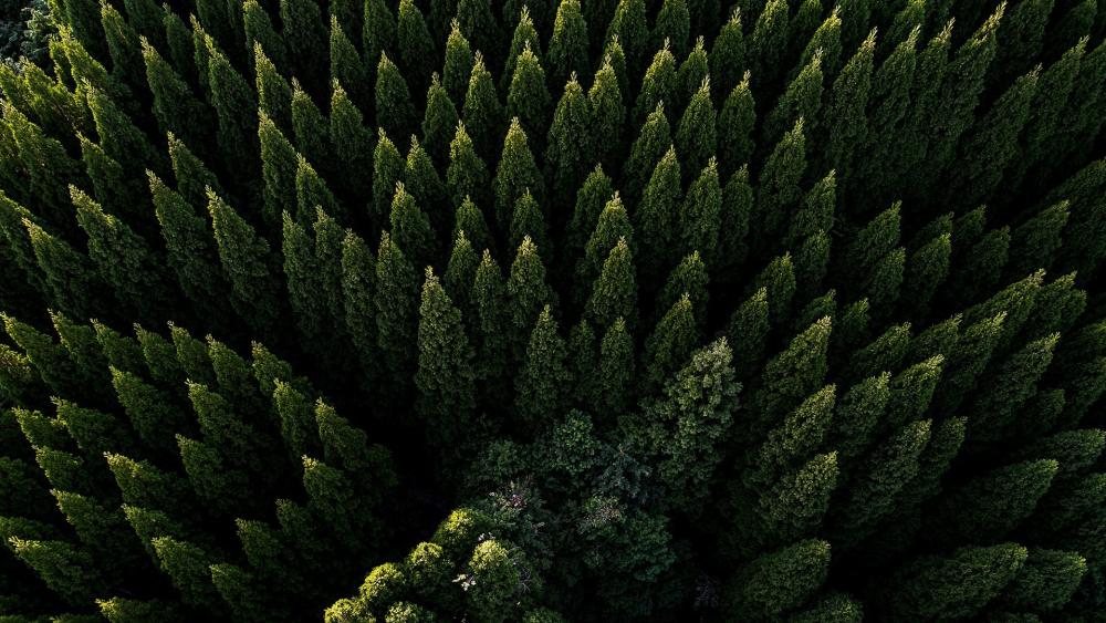 Evergreen forest drone photo wallpaper