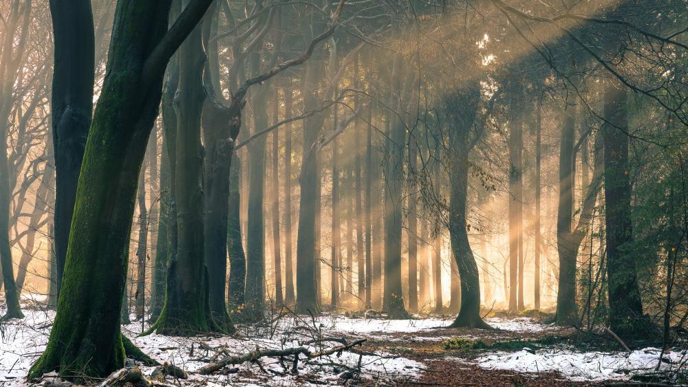 Winter forest sunlight wallpaper