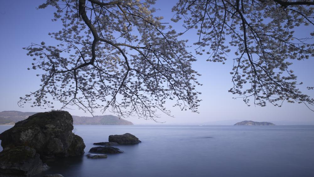 Blooming tree above the lake wallpaper