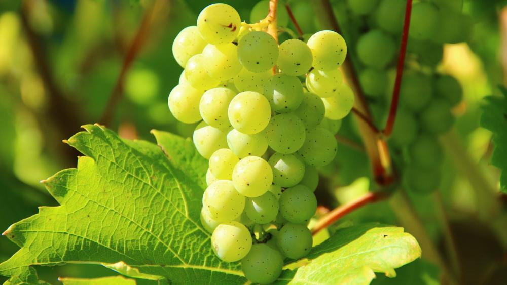 White wine grape wallpaper