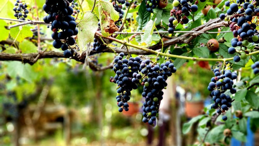 Bulgarian vineyard wallpaper