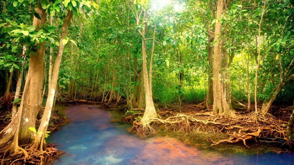 Mangrove forest wallpaper