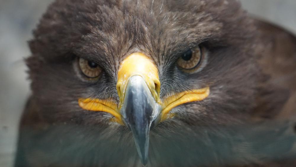 Golden eagle wallpaper