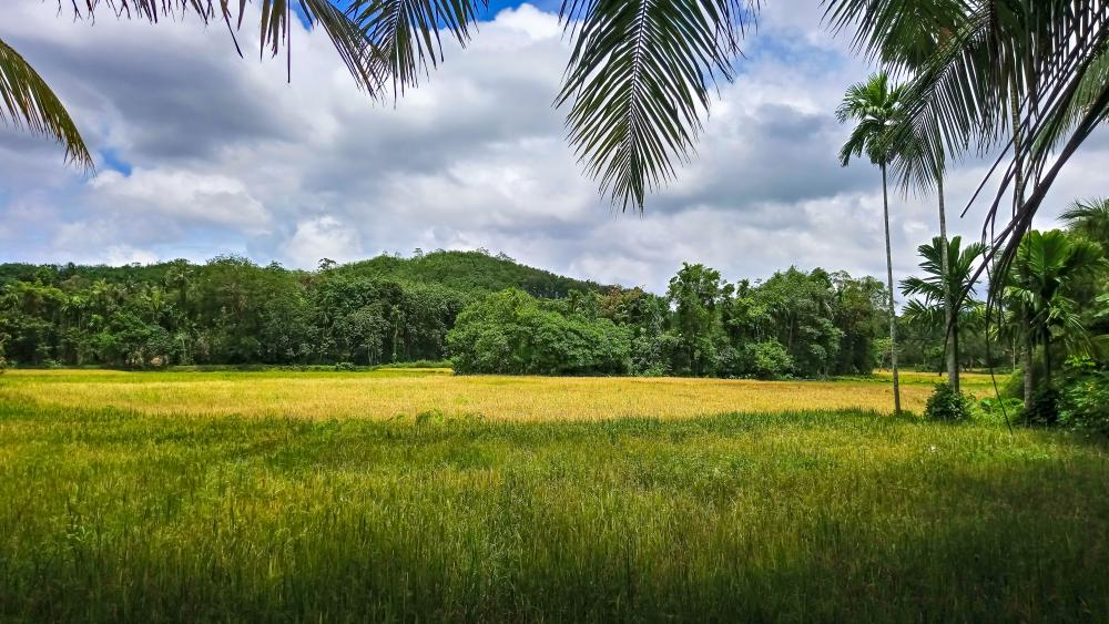 Paddy fields wallpaper