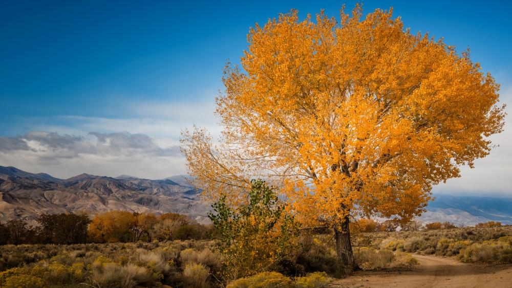 Lone yellow fall tree wallpaper