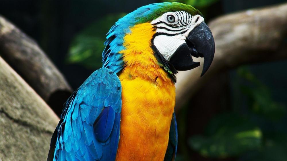 Macaw wallpaper