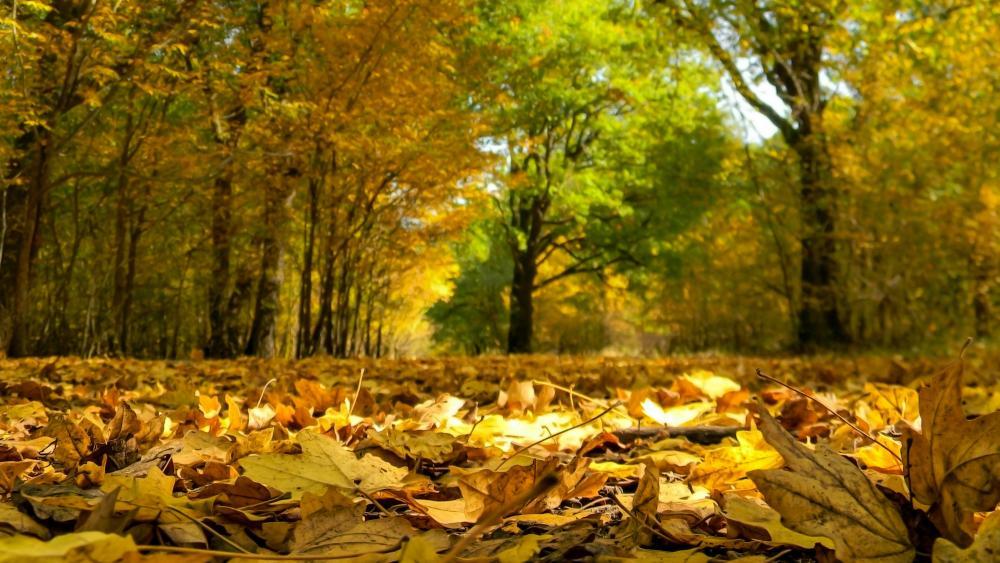 Fallen leaves 🍂 wallpaper