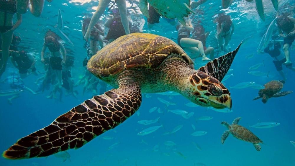 Underwater turtle wallpaper