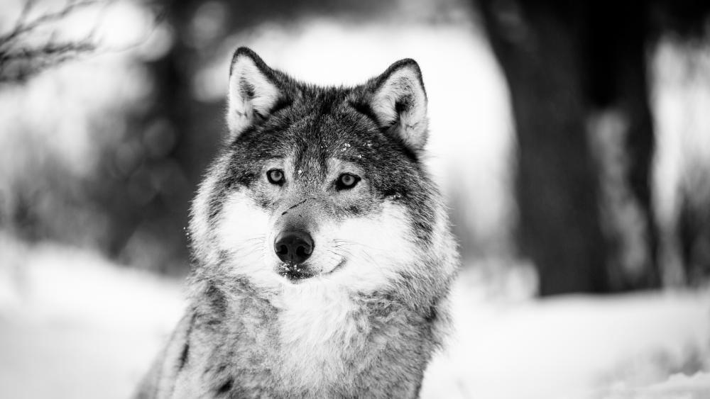 Wolf - Monochrome photography wallpaper