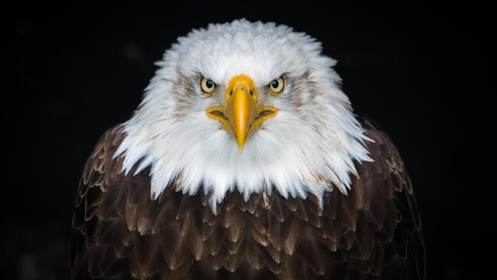 Bald Eagle close up 8K UHD photo wallpaper